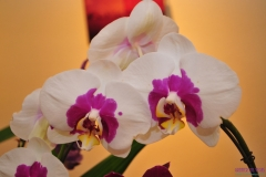 GLVOS 2016 Orchid Show 0004