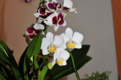 GLVOS 2016 Orchid Show 0006