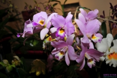GLVOS 2016 Orchid Show 0008