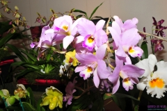 GLVOS 2016 Orchid Show 0009