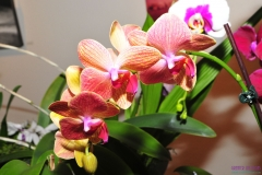 GLVOS 2016 Orchid Show 0010