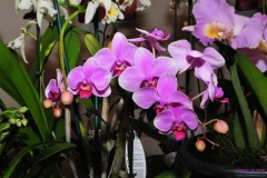 GLVOS 2016 Orchid Show 0012