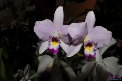 GLVOS 2016 Orchid Show 0014